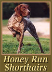 Honey Run Shorthairs